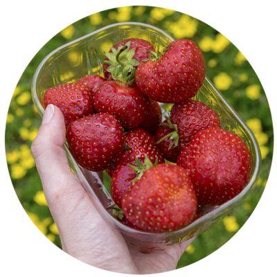 Herkulliset punaiset mansikat Porissa.